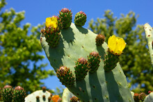 The Prickly Pear Cactus Blooms With Yellow Flowers.