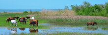Panoramic Photo Of A Herd Of Horses Grazing On The Shore Of A Pond. Horse Breeding. Landscape. Copy Space For The Text.