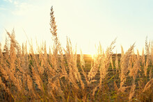 Natural Background With Dry Fluffy Grass. Wild Pampas Grass On Golden Autumn Field. Beautiful Tranquil Landscape Scene. Summer Or Autumn Season