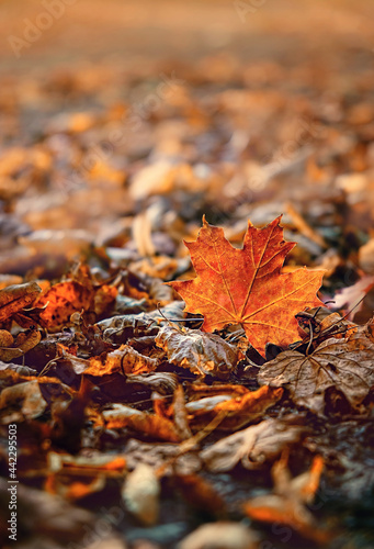 autumn natural background with orange maple leaves. fall season concept. autumn forest lanscape. copy space