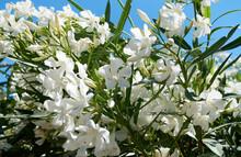 White Oleander Flower On Blue Sky Background. Nerium Oleander