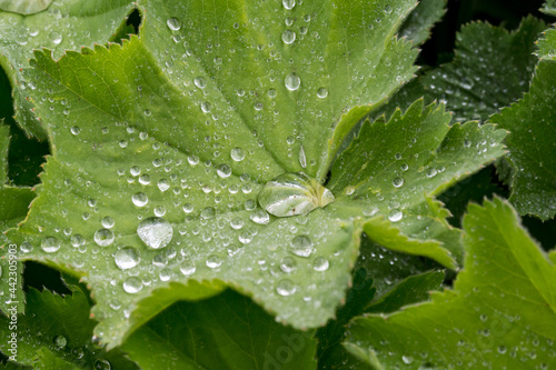 Canvas Print Alchemilla mollis landy's mantle herb with lotus effect in rain