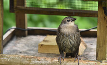 Young Starling On A Bird Table