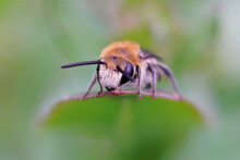 Frontal Closeup Of A Hairy Male Common Plasterer Bee On A Leaf