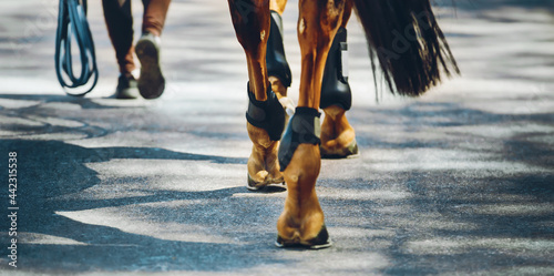 Fotografia, Obraz A rear view of a horse breeder walking with a sorrel horse, which steps with shod hooves on the asphalt on a sunny day