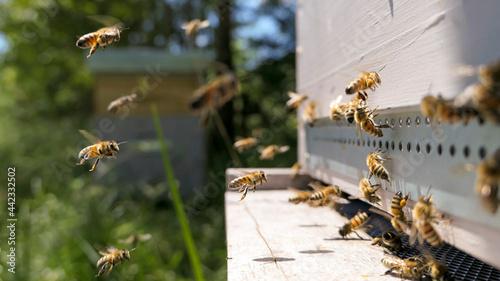 Fotografia Intense activité sur le plateau de ruche