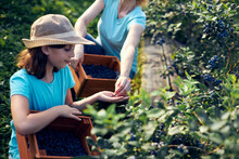 Mother And Daughter Picking Blueberries On A Organic Farm - Family Business Concept.