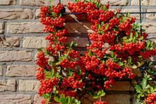 Selective Focus Of Ripe Red Berries Of Pyracantha Coccinea On Brick Wall In The Garden, Pyracantha Is A Genus Of Large, Thorny Evergreen Shrubs In The Family Rosaceae With Common Names Firethorn.