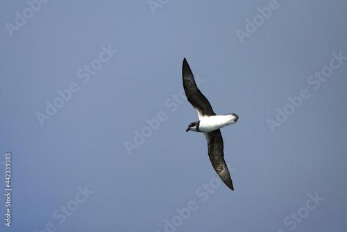 Photo Donsstormvogel, Soft-plumaged Petrel, Pterodroma mollis