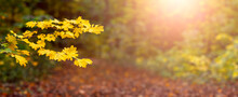 Autumn Forest At Sunset, Panorama. Tree Branch With Yellow Leaves In The Autumn Forest