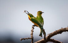 Two Little Bee-eaters With A Bee In Its Beak Perching On A Tree Branch
