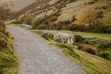 Closeup Shot Of White Grazing Horses In A Field Near A Road