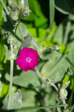 Silene Coronaria Also Called Rose Campion Flowers Close-up With Grey Felted Leaves And Bright Magenta Flowers