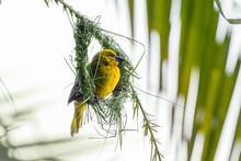 Female Spectacled Weaver (ploceus Ocularis) Building A Nest On Palm Leaf. Moremi Game Reserve, Okavango Delta, Botswana.