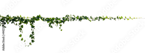 Foto ivy plant isolate on white background