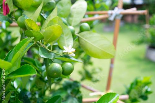 Obraz na plátně fresh lime fruit and flowers on trees in organic farm