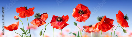 Fotografie, Obraz Poppies in field with blue sky