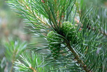 Green Pine Cones. Young Green Pine Cones Close-up On A Tree