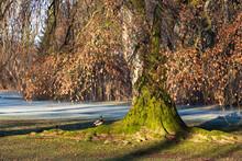 Auf Einem Mit Moos Bewachsenen Baumstamm Mit Dicken Wurzel Sitzt Eine Stockente. Im Hintergrund Liegen Rauhreif Und Schattenspiel Auf Dem Rasen.