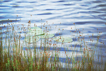 Tall Grass With Yellow Flowers Growing On Lake Bank With Sky Reflection In Water Background