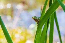 Hyla Arborea - Green Tree Frog On A Stalk. The Background Is Green. The Photo Has A Nice Bokeh. Wild Photo.