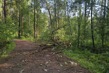 Fallen Tree In The Forest After A Hurricane Blocked The Road. Sawn Tree On A Forest Road To Clear The Way.