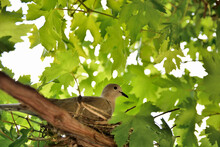 A Hidden Dove Lies In A Nest On Eggs In A Vineyard On A Sunny Summer Day. Bird And Animal Concept