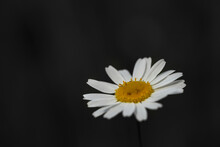 One White Daisy Flower Isolated On Dark Background. Floral Pattern, Object