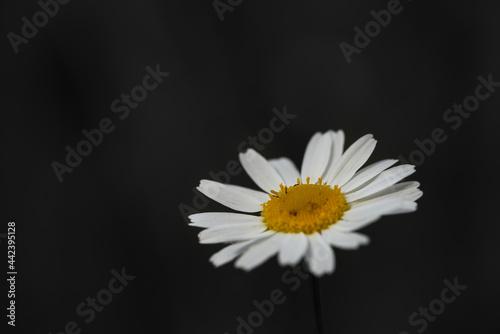 Photo One white daisy flower isolated on dark background