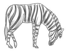 Wild Animal Grazing On Field, Zebra Monochrome