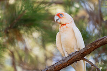 A Long Billed Corella Sitting On A Branch