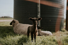 Sheep And Baby Lamb In A Field On A Farm