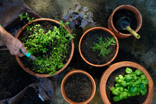 Overhead View Of Hand With Hose Watering Freshly Planted Herbs Growing In Container Garden Pots
