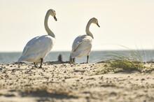 Swans Walking On A Sandy Beach