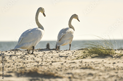 Carta da parati Swans walking on a sandy beach