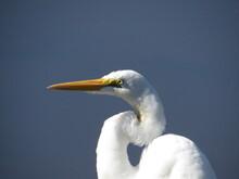 The Great Egret (Ardea Alba, Synonymous With Casmerodius Albus) Ciconiiformes Birds