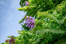 Floral Background Of Green Foliage Of Jacaranda Mimosifolia Tree With Panicle Of Purple Flowers Isolated On Blue Sky Background. Exotic Tropical Plant Close-up