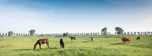 Horses In Green Meadow Near Nijmegen In The Netherlands Under Blue Sky In Summer