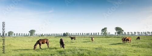 Fotografie, Obraz horses in green meadow near nijmegen in the netherlands under blue sky in summer