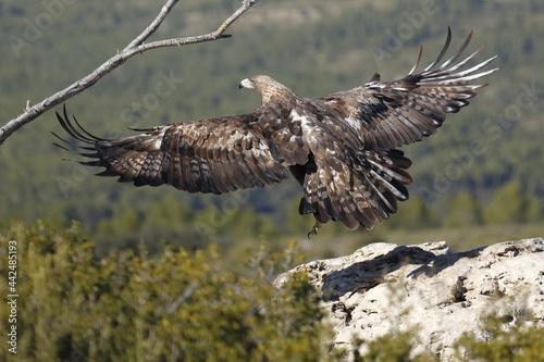 Canvas Print Águila Real (Aquila chrysaetos) Golden eagle