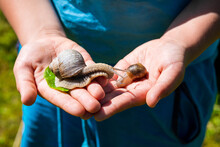 The Boy Holds In His Palms A Large Grape Snail