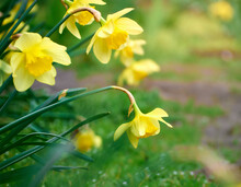 Close-up Of Yellow Daffodil Flowers.