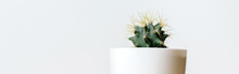 Green Round Cactus With Long Spines  In A White Pot On Light Background