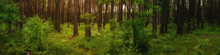 A Wide Panoramic View Of A Green, Shady Pine Forest With Lush Vegetation And Warm Sunshine. Summer June Landscape