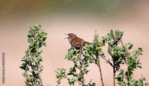 Valokuva Wren singing from the top of a bush