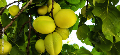 Fotografie, Obraz Fresh sweet apricots on the trees