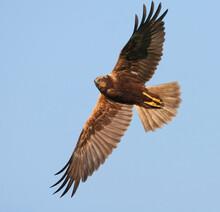 Bruine Kiekendief, Marsh Harrier, Circus Aeruginosus, Circus Aeruginosus