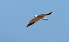 Grijze Wouw, Black-winged Kite, Elanus Caeruleus