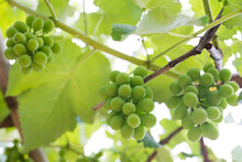 Low Angle View Of Organic Grapes Growing In Vineyard