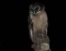 Bruine Bosuil, Himalayan Wood-Owl, Strix Newarensis